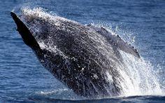 Entre os meses de junho e novembro, as baleias jubarte deixam as águas geladas da Antártida e chegam na região do sul da #Bahia; há passeios de barco para avistar baleias que partem da cidade de Prado