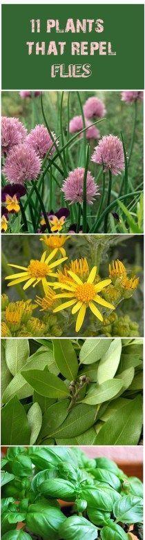 11 Plants that Repel Flies                                                                                                                                                     More
