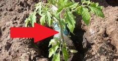 Čo dať do jamiek pri výsadbe paradajok? Neoceniteľné tipy, s ktorým máte dvojnásobné výnosy aj počas slabého roku! Gardening, Plants, Ale, Composters, Garten, Ale Beer, Flora, Plant, Lawn And Garden