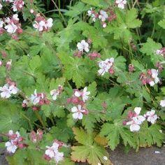 16. Geranium Macrorrhizum Spessart (Flocknäva)