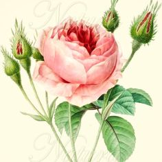 Botanical print 129, vintage botanical wall art, pink rose. via Etsy