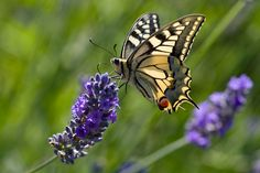 Papilio machaon ssp. gorganus