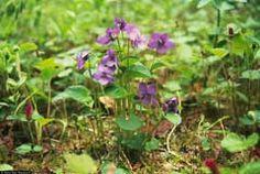 Viola langsdorffii Alaska Violet. Aleutian violet (perennial, Vegetable (young leaves and flower buds) - eaten raw or cooked, garnish herb,  thickening soup, herbal tea)