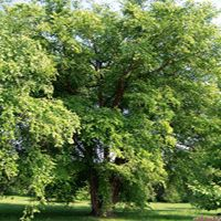 River Birch Fast growing - mature 25 - 50 ft and 25 - 35 ft wide.  Very hardy in every state in the US.