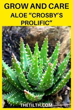 """Aloe """"Crosby's Prolific"""""""