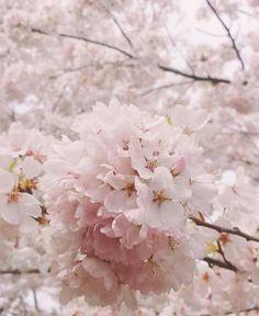 Beautiful Flowers Pictures, Romantic Flowers, Shabby Flowers, Flower Pictures, Love Flowers, Wild Flowers, Sakura Bloom, Sakura Cherry Blossom, Cherry Blossoms