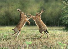 Wildlife Paintings by British-Wildlife Artist Nigel Artingstall Wildlife Paintings, Wildlife Art, Wild Life, Rabbit Pictures, British Wildlife, Animals Images, Hare, Pet Birds, Woodland