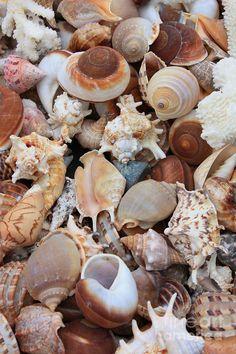 Seashells by Carol Groenen
