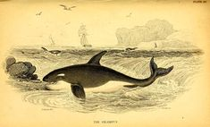 Vintage drawings of whales and dolphins to download for free. Minke Whale, Hamilton Pictures, Types Of Whales, Whale Facts, Whale Drawing, Pilot Whale, Octopus Illustration, Portrait, Costumes