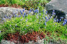 Seattle Garden Ideas: Rockery Plants - Part 2