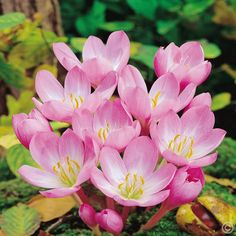 Order │Colchicum autumnale Major - 1 flower bulb buy online order now │Blooms through fall Bulb Flowers, Large Flowers, Pink Flowers, Astrantia Major, Garden Bulbs, Spring Bulbs, Woodland Garden, Bougainvillea, Begonia