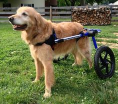 Dog With Wheelchair Dog Wheelchair Disabled Dog Diy Dog Wheelchair