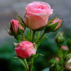 ♡ beautiful pulchritudinous roses
