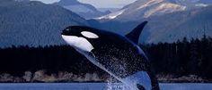 Resultado de imagem para imagens para fazer poster de baleias