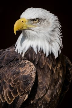 Bald Eagle by Tim Clarke - Photo 147229547 - hashtags Eagle Images, Eagle Pictures, Animal Pictures, Beautiful Birds, Animals Beautiful, Cute Animals, Bald Eagle Tattoos, Aigle Animal, Bold Eagle