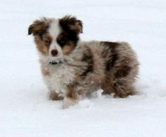Texas Miniature Toy Aussie Australian Shepherds
