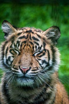 Squinting tiger