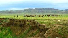 Bison on the edge. Nigel Finney ~ Saskatchewan Canada