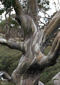 Snow Gum #Tree #eucalyptus