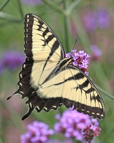 Swallowtail butterfly by mikedickie