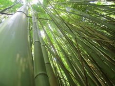 TWIN FALLS MAUI bamboo forest