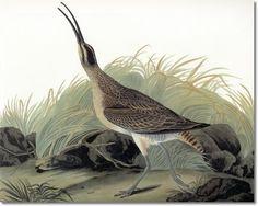audobon shorebirds - Google Search