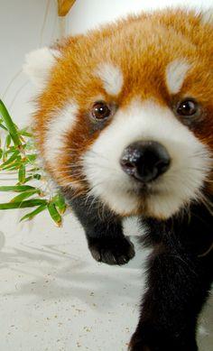 Curious Red Pandabyguppiecat