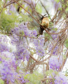 #bird #birdlovers #colorful #wisteria #photography #floral #purple #wallart #onlineshopping #animal #scardinal #pastel #springdecor #fineartphotography #fineartamerica #simple