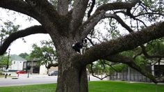 ~Always in a tree~ Kassie loves to climb trees, this is in Lake Charles Louisiana