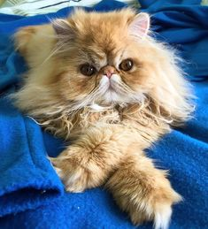 persian cat Zaphod crosses his paws because he is fancy Cute Cats And Kittens, I Love Cats, Crazy Cats, Kittens Cutest, Pretty Cats, Beautiful Cats, Animals Beautiful, Persian Kittens, Tier Fotos
