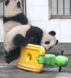 PIC BY DAVID JENKINS / CATERS NEWS - (PICTURED The determined panda cub tries for a second time to mount the childrens plaything) This is the hilarious moment a clumsy panda cub took a tumble whilst trying to ride a rocking horse. After looking a little nervous on the back of the saddle, the brave bear soon got the hang of the childrens plaything and was spotted rocking to and fro in no time. But after leaning too far forward, the amusing mammal managed to tipped the toy over and ended up…