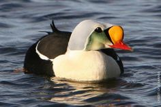 The King Eider (Somateria spectabilis) is a large sea duck. It is smaller than the Common Eider. The male is black body, white breast and multicoloured head. The female is a brown bird. The head is shorter than in the Common Eider, and the feathering extension onto the bill is rounded, not triangular in shape.  An immature drake is typically all dark with a white breast and a yellow bill patch.