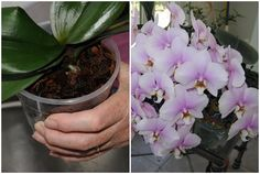 Hihetetlen! Így lehet akár 20 virág is egyszerre az orchideádon! Próbáld ki ezt a trükköt! - Tudasfaja.com Ikebana, Bonsai, Diy And Crafts, Home And Garden, Gardens, Goblin, Plant, Bonsai Trees, Flower Arrangements
