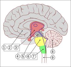 Encephalon human sagittal section multilingual.svg