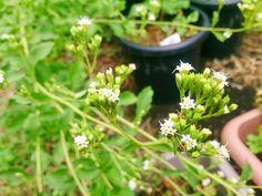 Sweetleaf #herb #flower