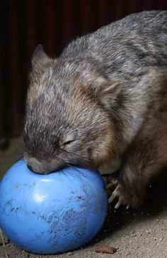GUNNING FOR IT: Rastus the wombat chases a blow-up ball around his enclosure and then pro