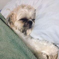 Boa Noite!!! #frescurasdatati #boanoite #faro #shitzu #shintzu #dog #cachorro #filhode4patas