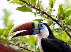 Tucano / toucan