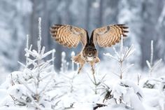 2015 National Geographic Photo Contest | National Geographic.  Taken in Czech Republic during winter. The great size, bulky, barrel-shaped build, erect ear tufts and orange eyes render this as a distinctive species