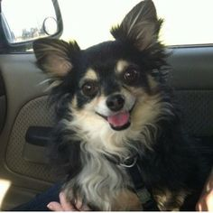 Lost Long Haired Chihuahua in The Woodlands Tx