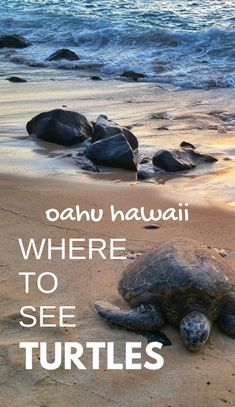 Where to see turtles on Oahu on Hawaii vacation, Turtle Beach at sunset is one of the best Oahu beaches for turtle sightings! US beach in Hawaii add to bucket list of things to do on Oahu. Going to Laniakea Beach on the North Shore gives you things to do with nearby swimming, snorkeling, hikes, waterfalls. Worth Honolulu or Waikiki drive! USA travel destinations, world adventures on a budget! What to wear, what to pack for Hawaii packing list. #oahu #hawaii #ustraveldestinations