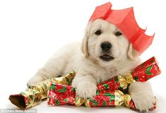 Christmas English Cream Golden Retriever Puppy - too cute! Christmas Puppy, Christmas Animals, Merry Christmas, Yellow Lab Puppies, Kittens And Puppies, Funny Animal Pictures, Funny Images, Bing Images, Christmas Pictures