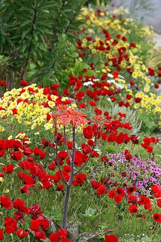 Yellow and red flowers (masses of poppies) - beautiful together!