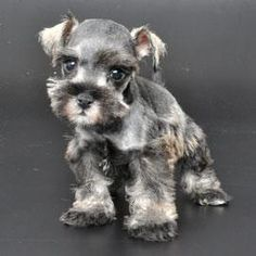 All of your friends are bigger than you. | These Mini Schnauzers Will Solve All Of Your Problems
