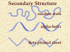 3 configurations of the secondary structure of a protein. 1. Random Walk –stretched out 2. Beta Pleated Sheet-spider web, nails 3. Alpha Helix-cylindrical spiral can be stretched (hair) As a polypeptide chain, the molecule had no special properties, but as a 3 dimensional protein, the molecule is capable of performing an astonishing variety of feats. Globular proteins catalyze chemical reactions, others act as antibodies in the immune system, & violent bodily reactions in the blood system.