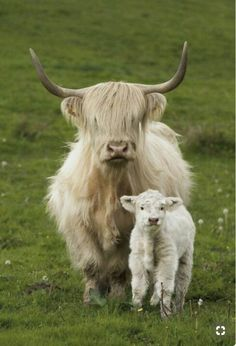 Pretty blonde Highland cow and her fluffy calf. Cute Baby Animals, Farm Animals, Animals And Pets, Funny Animals, Wild Animals, Scottish Highland Cow, Highland Cattle, Mini Highland Cow, Cow Pictures