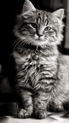 cat with collar iphone 5 wallpaper