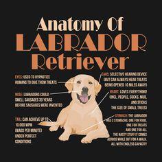 , Check out this awesome 'Cute+and+Funny+Anatomy+of+a+Labrador+Retriever+Shirt' de. , Check out this awesome 'Cute+and+Funny+Anatomy+of+a+Labrador+Retriever+Shirt' design. Labrador Quotes, Labrador Facts, Dog Quotes, Labrador Retrievers, Retriever Puppies, Labrador Puppies, Black Labrador Retriever, Golden Labrador, Most Popular Dog Breeds