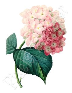 Botanical illustration HYDRANGEA Large Digital by PixelsTransfer, $3.50