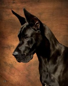 great dane, beautiful color, poor ears are docked though :(( hurts them so much
